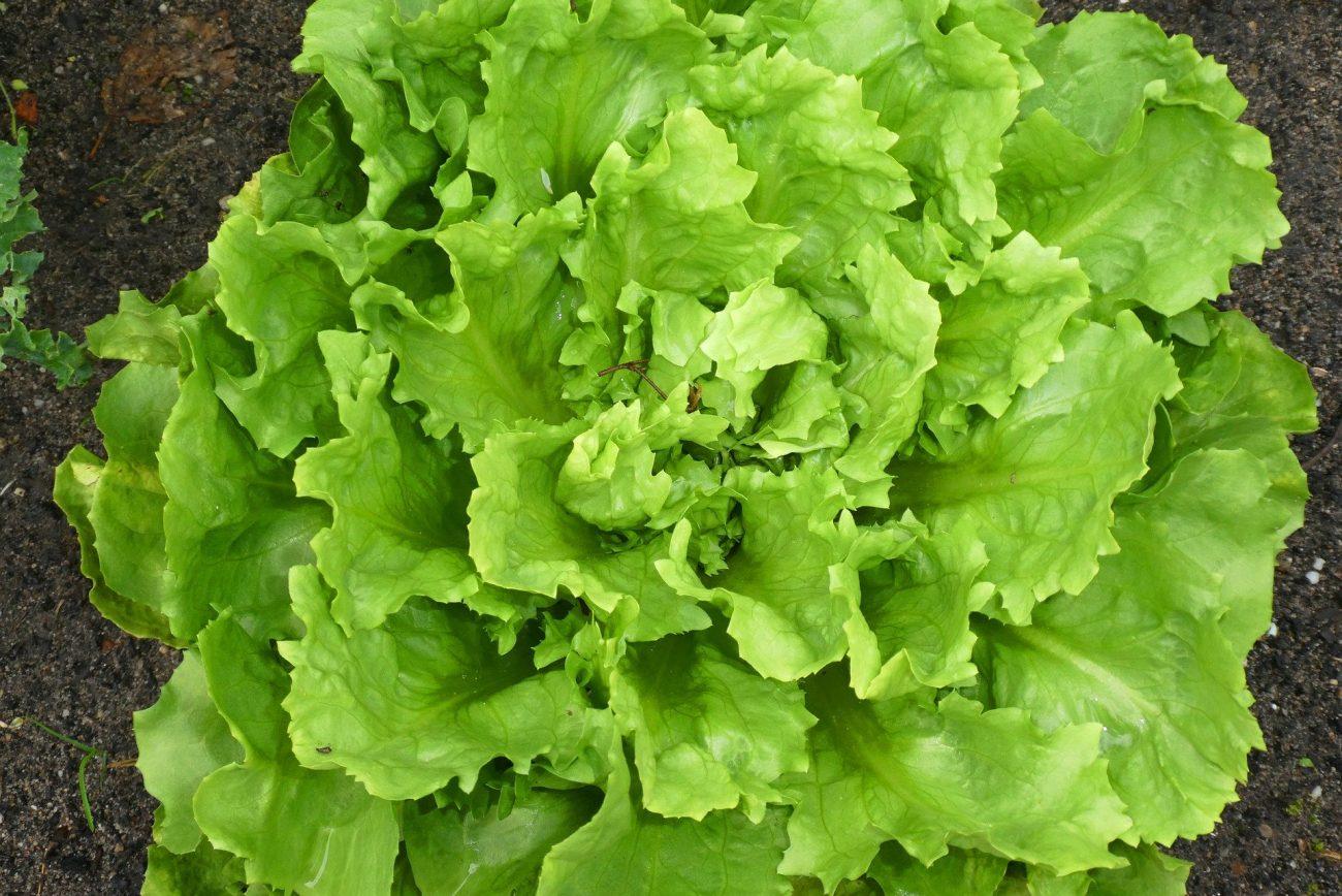 Endivien eignen sich nicht nur als Salat