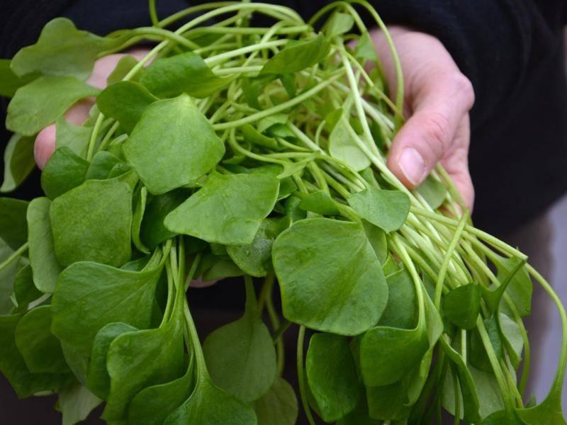 Wächst auch bei Kälte: Postelein ist ein Winter-Salat